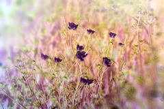 Meadow flower made with color filters, flowering buttercup flowers. Meadow flower made with color filters, flowering meadow flower - buttercup royalty free stock photos