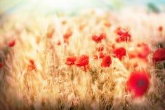 Meadow flower - poppy flowers Stock Photo