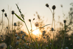 Meadow flower with some flare light in farm in the evening. Stock Photo