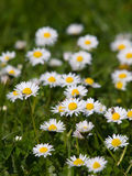 Meadow with flowering daisies Royalty Free Stock Photography