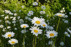 Meadow with flowering daisies in summer sunny day. White petals and yellow cores of chamomiles.  royalty free stock images