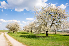 Meadow with flowering fruit trees Stock Image