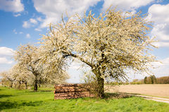 Meadow with flowering fruit trees Royalty Free Stock Photo