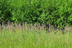 Flowering meadow at edge of a forest Royalty Free Stock Photography