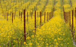 Meadow of flowering mustard plants in California Royalty Free Stock Photos