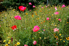 Meadow Flowers. A bed of meadow flowers blooms in summer Stock Photo