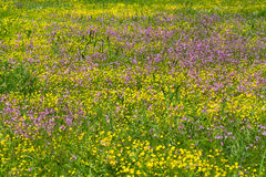 Meadow flowers Royalty Free Stock Photography