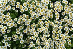 Meadow flowers. Little flowers, meadow flowers, background, white petal , yellow Royalty Free Stock Image