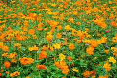 Meadow with flowers. A green meadow with orange flowers Stock Photo