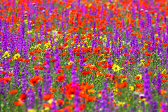 Meadow flowers. Background of a spring field. Stock Photography