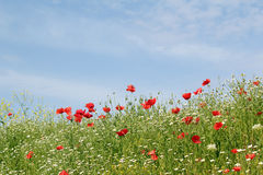Meadow with flowers and blue sky Royalty Free Stock Photo