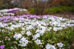 Meadow with flowers at Botanic Garden in the Blue Mountains. Meadow with flowers in selective focus at the Spring Festival at Mount Tomah Botanic Garden in the Stock Image