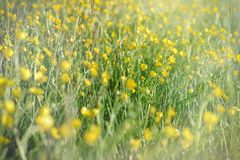 Meadow flowers - buttercup flowers Stock Photos