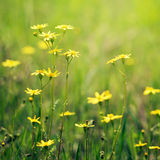 Meadow flowers closeup Royalty Free Stock Image