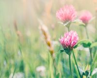 Meadow with flowers of clover. On a summer morning stock photo