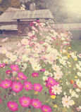 Meadow flowers Cosmos Royalty Free Stock Photos