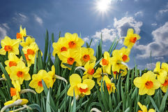Meadow with flowers of daffodils. On sky background stock images