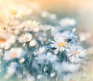 Meadow flowers - daisy Royalty Free Stock Image