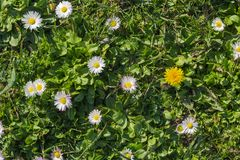 Meadow flowers daisy and dandelion Stock Photography