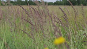 Meadow flowers and ears of corn sway in the wind on a sunny summer day. Flowering sunflowers on a background cloudy sky. Strong wind stock footage