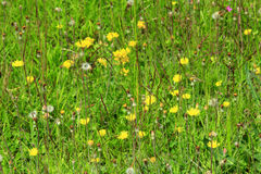 Meadow flowers of Galium verum and Sonchus arvensis Stock Photo
