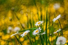 Meadow flowers Stock Images