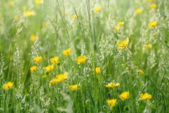 Meadow flowers in grass - buttercup (springtime) Royalty Free Stock Images