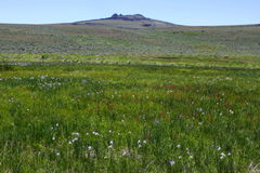 Meadow Flowers at Hart Mountain Antelope Refuge Stock Images