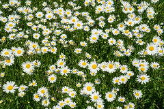Meadow with flowers. In hot summer day Royalty Free Stock Photos
