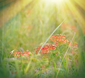 Meadow flowers illuminated by sunlight Stock Photography