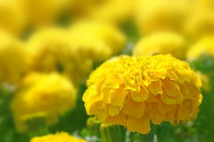 Meadow flowers marigold. Stock Photography