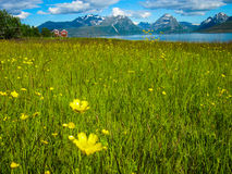 Meadow and flowers in Norway Stock Image