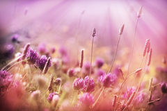 Meadow flowers - red clover Stock Photography
