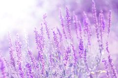 Meadow flowers of sage in sunlight. Selective soft focus stock photography