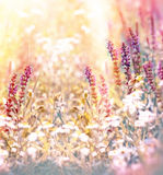 Meadow flowers Royalty Free Stock Photos