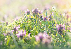 Meadow flowers in spring - purple flowers Royalty Free Stock Photos