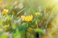 Meadow flowers in spring - yellow flowers Stock Photography