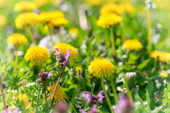 Meadow flowers in spring. Yellow  and purple flowers in spring Stock Photo