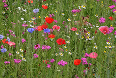 Meadow flowers at summer Royalty Free Stock Images