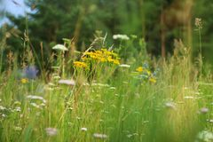 Meadow flowers in syberia stock photography
