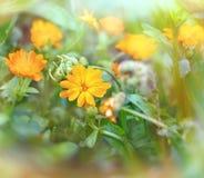 Meadow flowers - yellow flowers Stock Photos