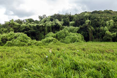 Meadow and forest covered in Mikania Stock Photos