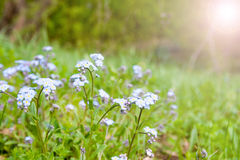 Meadow with forget-me-not Royalty Free Stock Photos