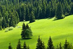 Meadow in forrest. Meadow with two trees in the middle surrounded with forrest royalty free stock photos