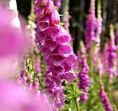 Meadow with foxgloves violet blooming