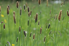 Meadow Foxtail. Grass in a english meadow Stock Photo
