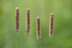 Meadow Foxtail Grass Royalty Free Stock Image