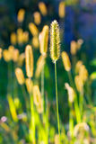 The meadow foxtail Royalty Free Stock Image