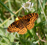 Meadow Fritillary. (Boloria bellona) sitting on a buttercup flower Royalty Free Stock Images