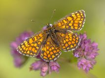 Meadow fritillary butterfly. Meadow fritillary (Melitaea parthenoides) butterfly resting on flower with bright green background stock photos